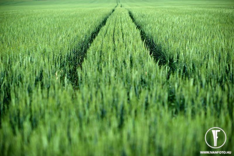 170620_006_green_corn
