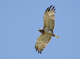 Águia-cobreira / Short-toed Eagle
