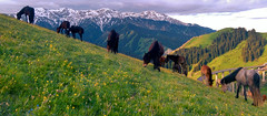 harmony (Maluka.X) Tags: harmony harmonous nature creature horse animal landscape mountain far away summer knight ride snow cloud artistic xinjiang china grassland plant