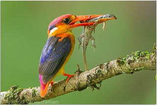 Oriental-Dwarf Kingfisher