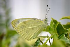 Kleiner Kohlweißling (G_Albrecht) Tags: insect leopidoptera pieridae pierinae pierisrapae pterygota echteweislinge fluginsekten insekt kleinerkohlweisling schmetterling tier umwelt weislinge