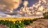 And one red tulip to rule them all. (Alex-de-Haas) Tags: oogvoornoordholland 1635mm d750 dutch europe hdr holland nederland nederlands nikkor nikon noordholland thenetherlands bloei bloem bloemen bloemenbijeenkomst bloemenveld clouds flower flowerfields flowerbed flowers landscape landschap lucht nature natuur plant skies sky tulip tulipfields tulipa tulips tulp tulpen tulpenvelden wolken