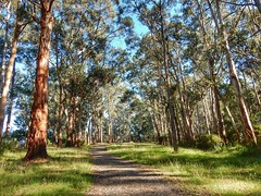 Coles Ridge (sander_sloots) Tags: sherbrooke trail coles ridge dandenong ranges national park yarra trees gumtrees gombomen eucalyptus bomen path pad belgrave