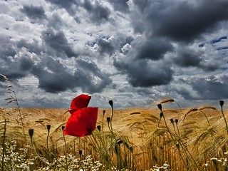 Poppies under a cloudy sky