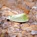 Cream-bordered Green Pea