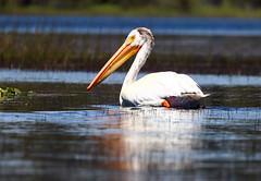 2017-06 Stephen Payne-82.jpg (Stephen_Payne) Tags: birds pelicans lakeofthewoods oregon othertags places lakes