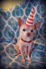 happy birthday floyd! (EllenJo) Tags: birthdaydogs happybirthday pets dog pet ellenjo pentaxk1 june2017 floyd bornin2003 bornjune29 chihuahua elderly age14 olddog old ellenjoroberts handsome oldchihuahua partyhat