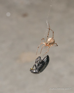 Virginia Spider Hunting