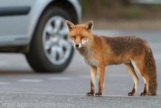 Urban fox.