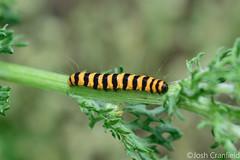 The Caterpillar (joshcranfield) Tags: bug macro caterpillar orange black hairy beautiful
