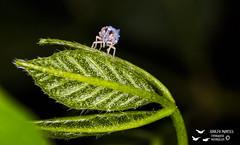 Familia Derbidae (quizá Cedusa sp) (Adolfo Montes) Tags: reservadelabiosferachamelacuixmala chamelacuixmala macro derbidae cicallidae cedusa insecto insect