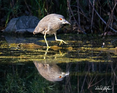 "Steppin' Out (dcstep) Tags: aurora colorado unitedstates us n7a4545dxo handheld canon5dmkiv ef500mmf4lisii allrightsreserved copyright2017davidcstephens dxoopticspro114 ""cherry creek state park"" pond reflection eye redeye heron blackcrownednightheron mirror"