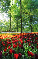 Make some Bloom for the Netherlands (Eye of Brice Retailleau) Tags: colourful colours composition earth nature outdoor paysage perspective scenery scenic travel view vista extérieur tree flora trees landscape forest park europe netherlands keukenhof flowers green red yellow tulip tulips