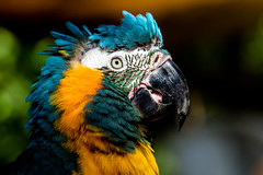Parrot (Gigin - NoDigital) Tags: bird birds animals unitedstates nature geography feather florida keywest parrot