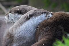 Otters, Edinburgh Zoo, March 1st 2016 (Southsea_Matt) Tags: orientalshortclawedotter amblonyxcinereus march 2016 spring edinburghzoo lothian scotland unitedkingdom canon 60d sigma 70200mm wildlife animals