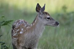 New Generation (Ralph J Clark) Tags: reddeer calf summer bushypark nikon200500mmf56 faon cerf