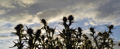 spear thistle flower heads (conall..) Tags: silhouette spearthistle cirsium vulgare cirsiumvulgare sky