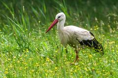 Ciconia ciconia (Linnaeus, 1758) - white stork (axel.becker73) Tags: schlepzig weisstorch storch white stork oriental vogel bird aves wildlife meadow wiese