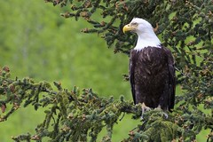 Bald Eagle (Natures Joy Photography) Tags: baldeagle bald eagle baea falconiformes haliaeetusleucocephalus hwy1 anchorage alaska