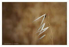 The climber (GP Camera) Tags: nikond80 nikonaf50mmf18d countryside campaga spider ragno climber arrampicatore ear spiga oat avena summer estate details dettagli focus messaafuoco bokeh sfocato softbackground sfondosoffice allaperto vignetting light luce shadows ombre lightandshadows lucieombre lighteffects effettidiluce lightness leggerezza shades sfumature textures abstract astratto ethereal etereo trame wind vento thebestyellow macro whiteframe cornicebianca italy italia piemonte monferrato darktable gimp opensource freesoftware softwarelibero digitalprocessing elaborazionedigitale