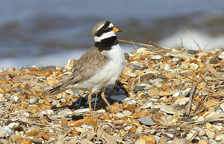 RINGED PLOVER....male....North Norfolk.