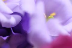 give a yawn/あくびをひとつ (kurupa_m) Tags: eustomarussellianum flower plant macro purple fujifilm xt10 トルコキキョウ 紫