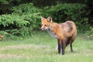 Red fox - Renard roux - Vulpes vulpes