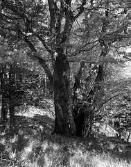 hêtre de montagne (JJ_REY) Tags: hêtre montagne wormspel vosges beech mountains fuji neopanacros100 bw largeformat 4x5 rodinal toyofield 45a rodenstock sironarn 150mmf56 epson v800 alsace france