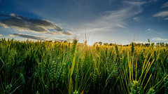 Summer Solstice (SpectrumLight) Tags: nature field summer solistice crop rye wheat sunset sunstar landscape england kent lullingstone sonya7ii ilce7m2 sony alpha fe1635mmf4zaoss sunlight flickr backlit midsummer