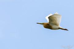 Indian Pond Heron in Flight (PB2_1874) (Param-Roving-Photog) Tags: indian pond heron paddybird flying flight bird water lake wildlife wetland ropar ramsar punjab wildlifephotography indianwildlife birding nikon tamron