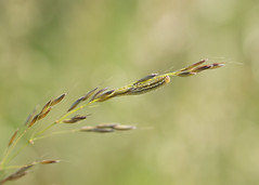I spy... (Emma Varley) Tags: caterpillar grass stripy yellow black hairy spots hiding ispy westsussex southdownsnationalpark june summer