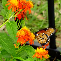 Butterfly (austexican718) Tags: butterfly vine flower orange nature garden texas fauna