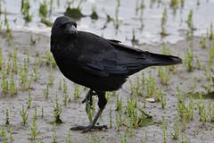 Carrion Crow. (stonefaction) Tags: carrion crow birds nature wildlife eden estuary fife scotland balgove bay st andrews