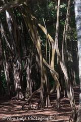 Turtle Bay 21 (venusnep) Tags: turtlebay turtle bay hawaii travel travelphotography north shore northshore may 2017 nikond610 nikon d610 banyantree banyan tree