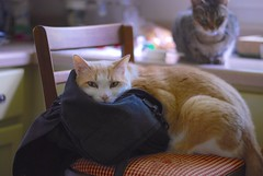 """Hey, Sally... Have you seen my purse?"" (rootcrop54) Tags: otis dilute orange ginger tabby male cat cousin tabbies masked purse props kitchen chair counter neko macska kedi 猫 kočka kissa γάτα köttur kucing gatto 고양이 kaķis katė katt katzen kot кошка mačka maček kitteh chat ネコ"