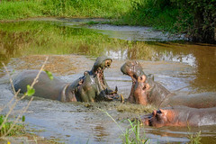 Hyppos fighting! (GearUp Photography) Tags: africa hyppo safari ngorongoro amazing nature xt2 xf100400 animal wildlife incredible tarangire animals tanzania manyara hyppopothamus serengeti fujifilm