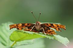Comma....... (klythawk) Tags: comma polygoniacalbum butterfly leaf nature wildlife summer green brown olympus omd em1mkll 100400mm panasonic colwickpark nottingham klythawk