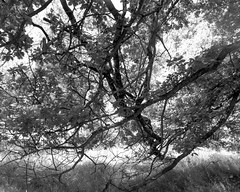 Overlapping Oaks (Hyons Wood) (Jonathan Carr) Tags: trees black white monochrome bw 4x5 5x4 largeformat toyo fujiacros rural northeast landscape ancientwoodland