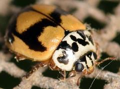 4.3 mm painted lady beetle (ophis) Tags: polyphaga cucujiformia coccinelloidea coccinellidae coccinellinae mulsantina mulsantinapicta paintedladybeetle