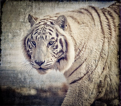 Tiger_Out of Africa park (S. Peterson) Tags: stevepeterson outofafricagamepark arizona whitetiger