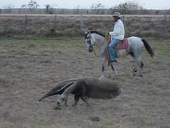 P1010859.jpg (fatwaller) Tags: mamifère amérique fourmilier nature animal terrestre venezuela