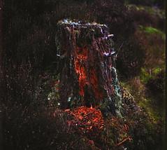 Gwaed Y Goed (D.I. Hammonds) Tags: tree stump foot base conifer coniferous pine wood woodland forest forestry wales rural mid ceredigion welsh heather highland flora fauna rollei rolleiflex 120 medium format 220 camera fuji fujifilm ns nx 160 6x6