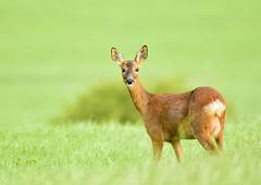 Roe deer (George Findlay) Tags: deer doe roe ayrshire nikon sigma