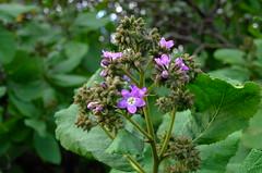 L3152253 (oliveplum) Tags: royalbotanicgardens leica australia melbourne xvario flower
