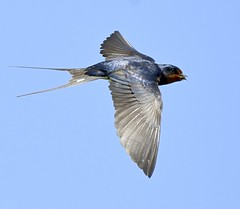 Swallow (Carl Bovis Nature Photography) Tags: swallow bird flight flying fly nature nikon nikond500 somerset springwatch somersetlevels sigma sigma150600 sigma150600c wings wildlife inflight panborough england carlbovisnaturephotography bbcspringwatch