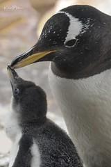 Penguin and chick (Karen Miller Photography) Tags: edinburghzoo zoo captivity captive edinburgh baby penguin animal nikon rzss scotland enclosures karenmillerphotography
