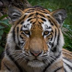 TigerPortrait 01 (mmsig) Tags: 2017 ausflug dusiburg zoo tiger groskatze katze altaica tigris panthera ussuritiger amurtiger sibirischer portrait