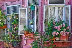 (yonca60) Tags: kadirga kumkapi istanbul turkey window ventana pencere hydrangea cicek ortanca oldhouse house ev woodenhouse ahsapev shutter
