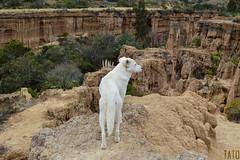 Gran Observador... (Tato Avila) Tags: colombia desiertodelatatacoita desierto perro peludo dog animal vida estoraques nemocón cundinamarca landscape paisaje