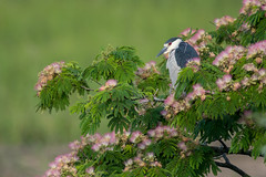 Black Crowned Night Heron amid Mimosa Blooms (Mark Schwall) Tags: nycticoraxnycticorax blackcrownednightheron mimosa newjersey nj nikon nikkor600mmais manualfocus markschwallphotographycom perched southernnewjersey